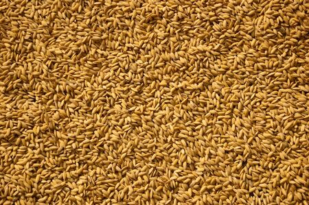 Rice grains dried in the sun after a harvest in the hill town of Sapa, Vietnam