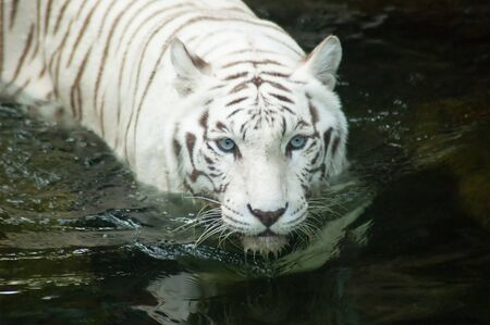 Rare White Bengal Tiger swimming at the Singapore Zoo. Stock Photo
