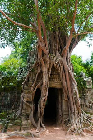 overrun: A strangler fig overwhelms the gate to a temple in Angkor.
