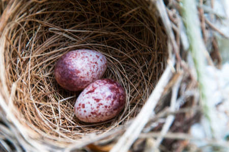 Eggs in a nest can be metaphorical for fragility, security and comfort photo