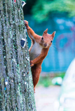 Red squirrel scurrying up a tree in a park.