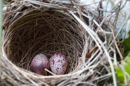 A pair of eggs lie safely in a nest. Stock Photo