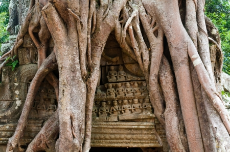 A strangler fig overwhelms the gate to a temple in Angkor.