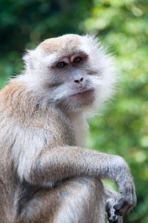 mischevious: Monkey staring at you. Stock Photo