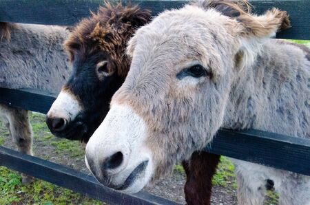 A pair of donkeys resting in the paddock in Ireland.