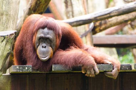 sumatran: A Sumatran orangutan sits on his perch
