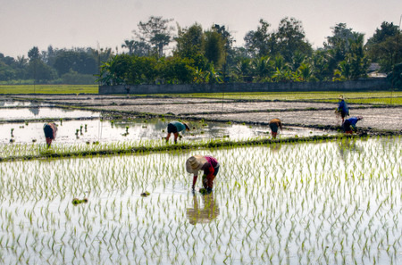 Farmers planting rice in a padi in Chiang Mai Stock Photo