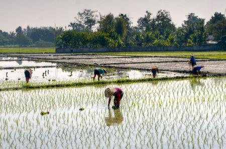 padi: Farmers planting rice in a padi in Chiang Mai Stock Photo