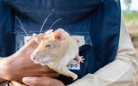 sniff: Siem Reap, 24 June 2016: A Gambian Pouched Rat is deployed in the minefields of Cambodia to sniff out explosives. Editorial