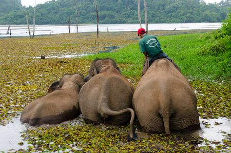 25 May 2012, Xayabouli, Lao PDR: A mahout trains brings his elephants for a swim and bath in the river. Editorial