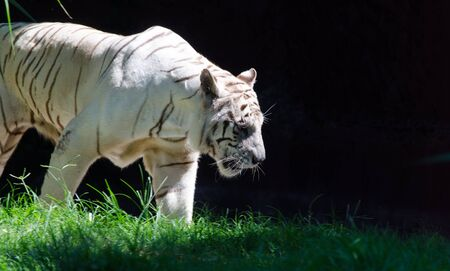 A majestic white tiger emerges from the shadows, hunting for its prey Stock Photo