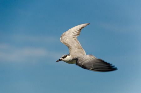 A brown-headed gull shot in mid flight over the gulf of Thailand