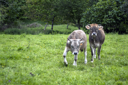 asturias: two cows in the country angry Asturias Spain Stock Photo