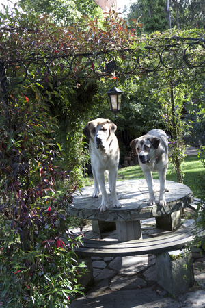 arbor: to vertical view of two mastiffs over the table of an arbor