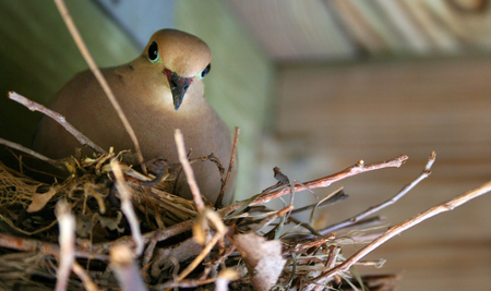 A dove looks down from her nest in wooden rafters.