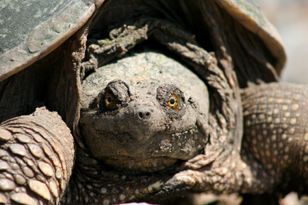 snapping turtle: Close-up of snapping turtle with glowing yellow eyes facing the camera