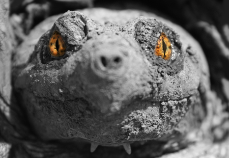 sea monster: Sea Monster - A doctored image of a snapping turtles head Stock Photo
