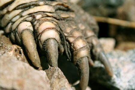 snapping turtle: Close-up of a reptilian claw of a snapping turtle