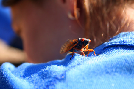 17-year cicada lands on the shoulder of a woman photo