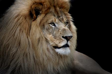 Profiel van een leeuw tegen zwart