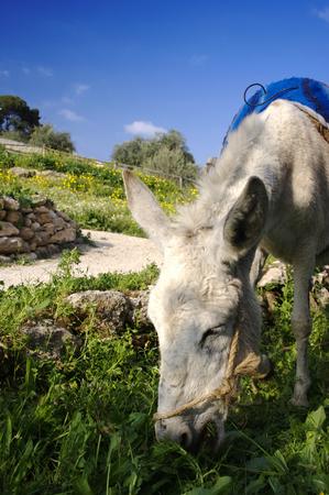 Donkey Grazing