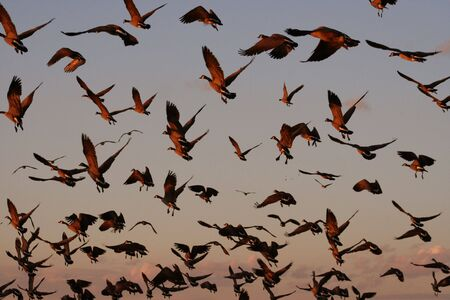 A flock of geese cover the sky at dusk photo