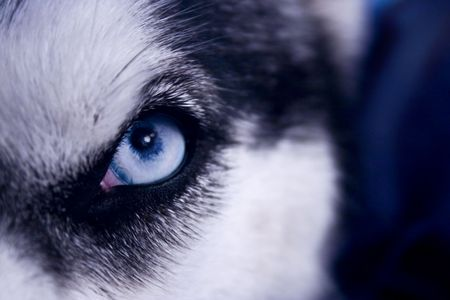 Eye of a very wolf-like siberian husky