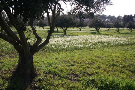 Olive tree grove in Israel photo