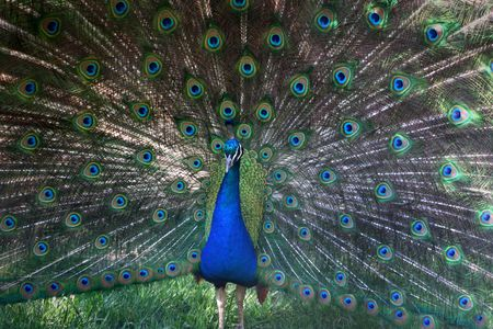 Male peacock with feathers spread out photo