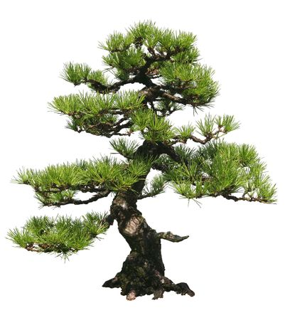 pine needles: A bonsai tree over a white background