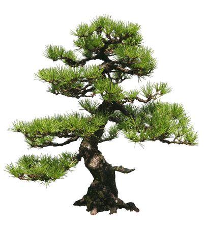 A bonsai tree over a white background