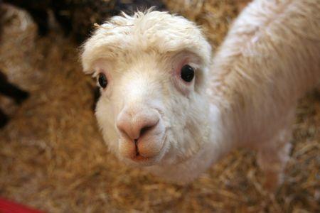 Cute baby llama checking out the camera photo