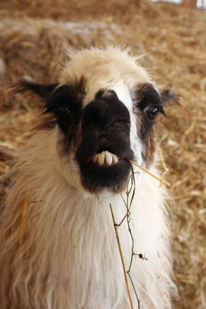 buck teeth: A llama in need of braces faces the camera Stock Photo