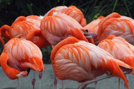 A flock of pink American flamingos sleeping