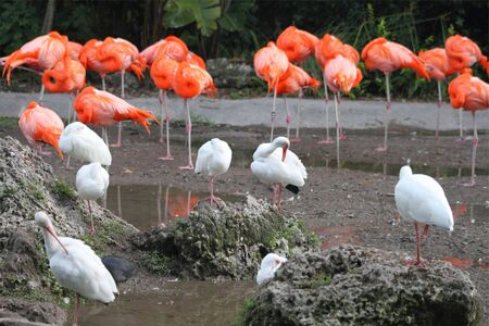 American Flamingos and White Ibises in Florida Reklamní fotografie