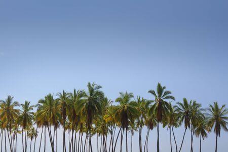 Palm Tree Lineup 版權商用圖片