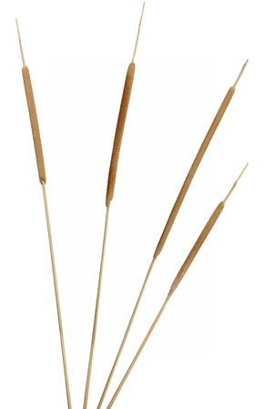Four separated cattail stems isolated over white. Very high-res. Clean edges, no shadows.