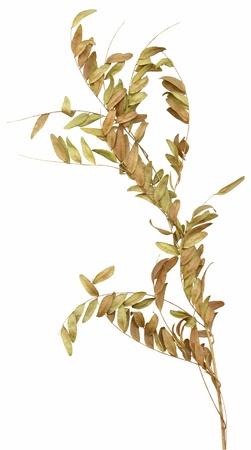 wilting: Un marchitamiento marr�n seca rama ornamental con hojas peque�as, aislados en blanco. Muy alto-Res bordes limpios, sin sombras.