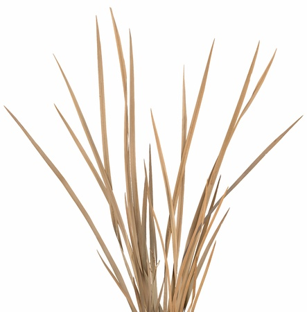 blades of grass: Dried ornamental grass clump isolated over white. Very high-res. Clean edges, no shadows.