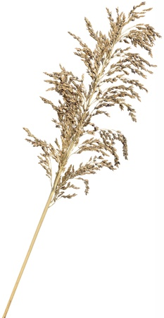 Dried ornamental reed grass isolated over white. Very high-res. Clean edges, no shadows.