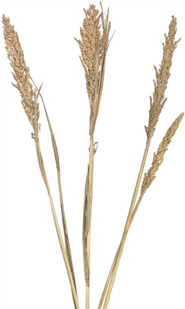 Three dried ornamental reed grasses, separated and isolated over white. Very high-res. Clean edges, no shadows.