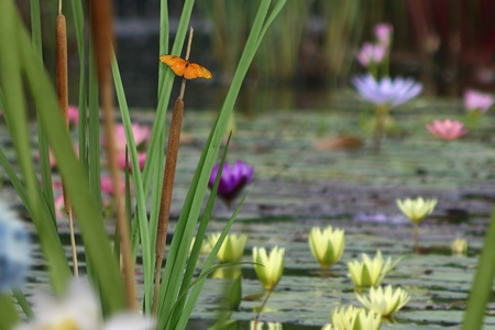 Composite image with a butterfly perched on a cattail beside a pond full of lilies.