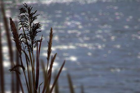 Sunlight reflecting off water behind tall grass Reklamní fotografie