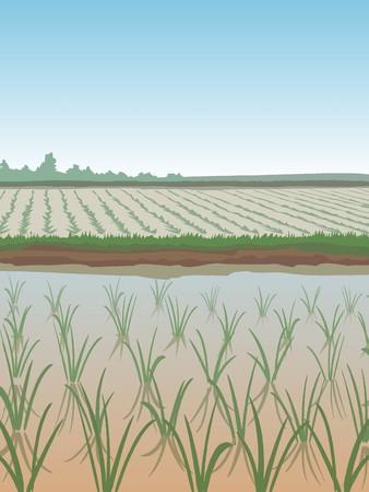 arrozal: paisaje de campos de arroz en crecimiento verde Vectores