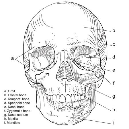 medical study: Aspetto frontale del cranio umano