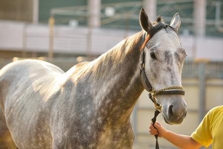 backlighting: Backlighting gray horse