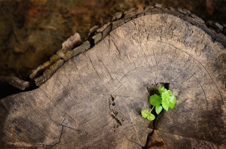 germinate: Young green tree seedling grow from the old stump