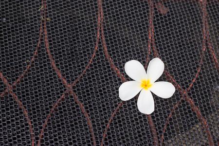 frangipani flower: White frangipani flower on black mesh. Stock Photo