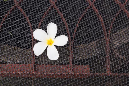 mesh: White frangipani flower on black mesh. Stock Photo