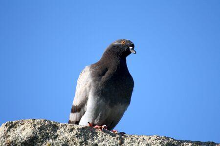 pigeon Stock Photo - 5752710